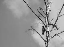 corbeau Photo libre de droits
