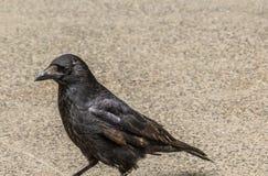 corbeau Photographie stock libre de droits