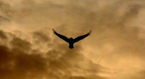 corbeau photos stock