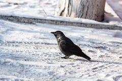 corbeau commun Images stock
