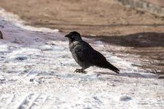 corbeau commun Photos libres de droits