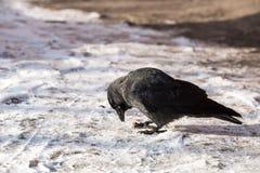 corbeau commun Images libres de droits