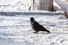 corbeau commun Photo stock
