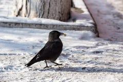 corbeau commun Image stock