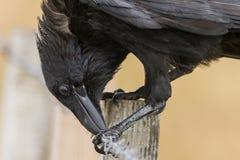 Corbeau commun - corax de Corvus se reposant sur une barrière Photographie stock libre de droits