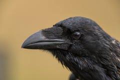 Corbeau commun - corax de Corvus se reposant sur une barrière Photo stock