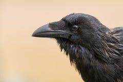 Corbeau commun - corax de Corvus se reposant sur une barrière Image stock