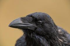Corbeau commun - corax de Corvus se reposant sur une barrière Photos stock