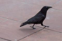 corbeau courant de noir de forme physique photographie stock libre de droits