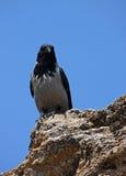 Corbeau gris Image libre de droits