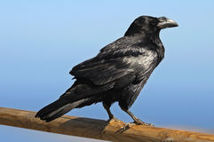 Corbeau noir photo libre de droits