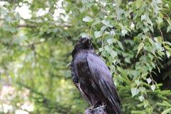 Corbeau noir photos libres de droits