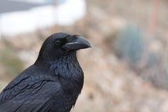 Corbeau noir images libres de droits