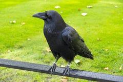 Corbeau noir Photographie stock libre de droits