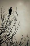 Corbeau noir Photo stock