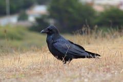 Corbeau noir Images stock