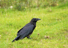 Corbeau noir Image stock