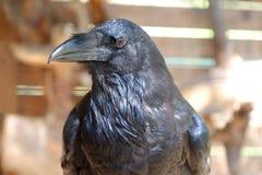 Corbeau noir d'oiseau avec le bec ouvert se reposant sur la pierre images stock