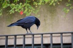 Corbeau noir d'oiseau se reposant sur la barrière regardant vers le bas photo stock