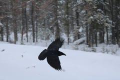 Corbeau noir en vol photographie stock libre de droits