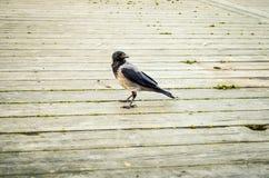 Corbeau noir marchant au-dessus du plancher en bois Photos stock