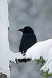 Corbeau noir se reposant sur l'arbre de neige pendant l'hiver Images stock