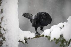 Corbeau noir se reposant sur l'arbre de neige pendant l'hiver Photos libres de droits