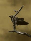 Corbeau noir Image libre de droits