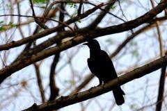Corbeau noir se reposant sur le tronc d'arbre et criant avec le fond blanc de ciel images stock