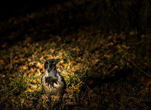 Corbeau noir se tenant dans l'herbe Photos libres de droits
