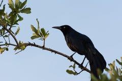 Corbeau noir se tenant en position vigilante Photo stock