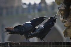 Corbeaux royaux dans la tour de Londres Photographie stock libre de droits