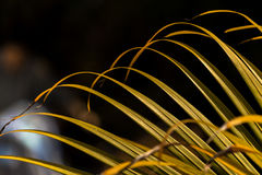 Corbett Vegetation. Fan Shaped Green Leaves at Cobett National Park Stock Photo