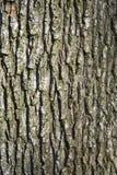 Écorce d'arbre de chêne Images libres de droits