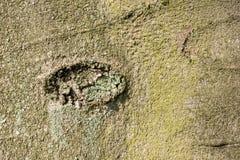 ?corce d'arbre de h?tre en plan rapproch? photographie stock