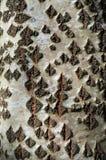 ?corce d'arbre ou d?tail de texture de Rhytidome image libre de droits