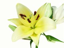 Corcovado, lis blanc de jaune à l'arrière-plan blanc Photographie stock libre de droits