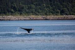 Corcunda em Alaska imagem de stock
