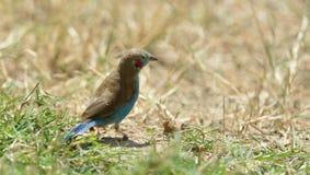 Cordão-azul Vermelho-cheeked Imagens de Stock Royalty Free