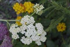Cordón de la reina Anne blanco hermoso con el fondo floral Imagen de archivo libre de regalías
