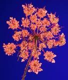 Cordón de la reina Anne en luz coloreada Fotos de archivo