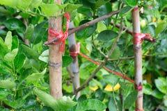 Corda amarrada com a árvore Fotos de Stock Royalty Free