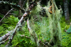 Corda longa do líquene em um ramo de árvore Foto de Stock Royalty Free