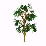Cordaites borrasifolius Tree Stock Images