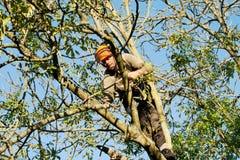 Cordas da fixação do homem na árvore de cinza Imagens de Stock Royalty Free