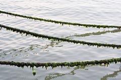 Cordas e alga Foto de Stock Royalty Free