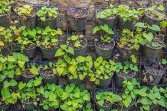 Cordata de florescência bonito do Houttuynia da flor branca do ` s de Fishwort foto de stock royalty free