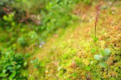 Cordata del Listera, Lesser Twayblade, orquídea salvaje terrestre europea floreciente roja en el hábitat de la naturaleza, oculta Foto de archivo