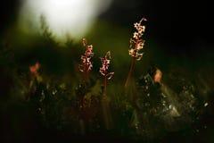 Cordata del Listera, Lesser Twayblade, orquídea salvaje terrestre europea floreciente roja en hábitat de la naturaleza con el fon Fotografía de archivo
