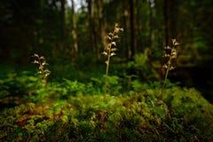 Cordata del Listera, Lesser Twayblade, orquídea salvaje terrestre europea floreciente roja en hábitat de la naturaleza con el fon Fotos de archivo libres de regalías